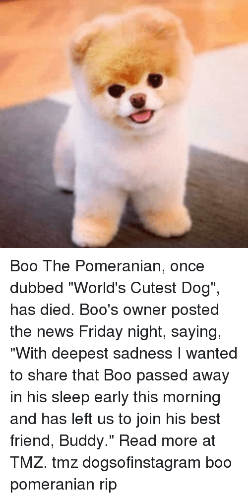 """Boos: Boo The Pomeranian, once dubbed """"World's Cutest Dog"""", has died. Boo's owner posted the news Friday night, saying, """"With deepest sadness I wanted to share that Boo passed away in his sleep early this morning and has left us to join his best friend, Buddy."""" Read more at TMZ. tmz dogsofinstagram boo pomeranian rip"""