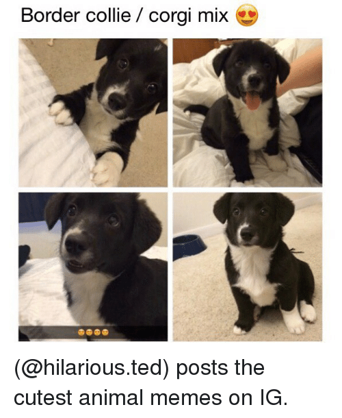 collie: Border collie / corgi mix (@hilarious.ted) posts the cutest animal memes on IG.