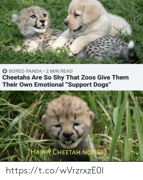 """cheetahs: BORED PANDA 2 MIN READ  Cheetahs Are So Shy That Zoos Give Them  Their Own Emotional """"Support Dogs""""  THAPPY CHEETAH NOISES] https://t.co/wVrzrxzE0l"""
