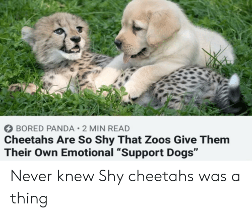 "Panda: BORED PANDA 2 MIN READ  Cheetahs Are So Shy That Zoos Give Them  Their Own Emotional ""Support Dogs"" Never knew Shy cheetahs was a thing"