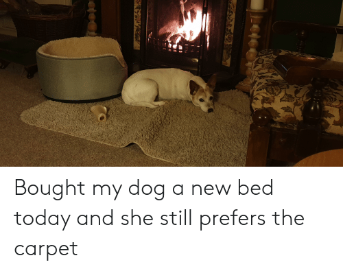 Today, Dog, and Carpet: Bought my dog a new bed today and she still prefers the carpet