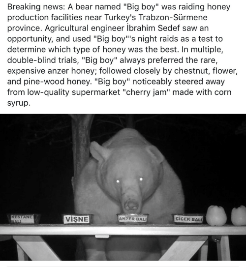 "Bali: Breaking news: A bear named ""Big boy"" was raiding honey  production facilities near Turkey's Trabzon-Sürmene  province. Agricultural engineer ibrahim Sedef saw an  opportunity, and used ""Big boy""'s night raids as a test to  determine which type of honey was the best. In multiple,  double-blind trials, ""Big boy"" always preferred the rare,  expensive anzer honey; followed closely by chestnut, flower,  and pine-wood honey. ""Big boy"" noticeably steered away  from low-quality supermarket ""cherry jam"" made with corn  syrup.  KESTANE  BALI  VISNE  ciCEK BAL  ANZER BALI"