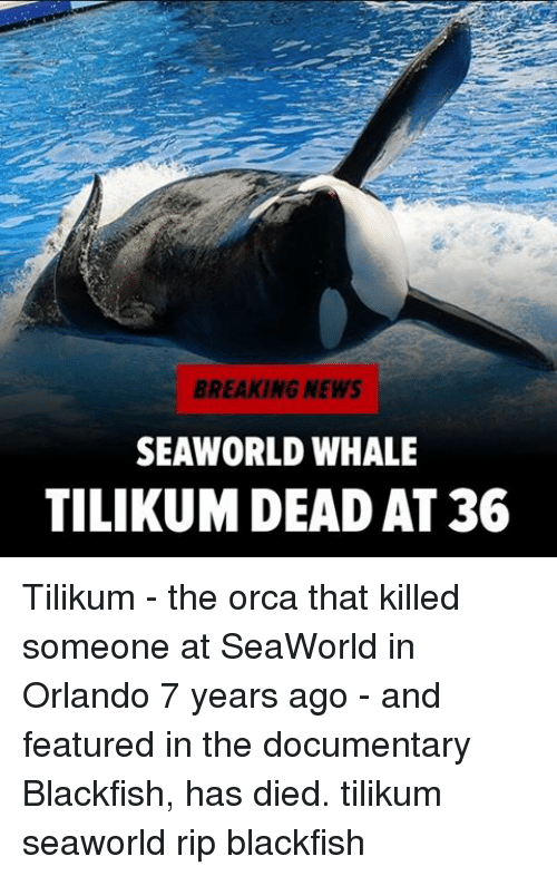 SeaWorld: BREAKING NEWS  SEAWORLD WHALE  TILIKUM DEAD AT 36 Tilikum - the orca that killed someone at SeaWorld in Orlando 7 years ago - and featured in the documentary Blackfish, has died. tilikum seaworld rip blackfish