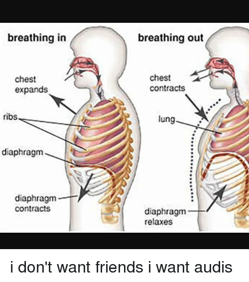 lunge: breathing in  breathing out  chest  expands  chest  contracts  ribs  lung  9  diaphragm  diaphragm  contracts  diaphragm  relaxes i don't want friends i want audis