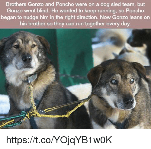 poncho: Brothers Gonzo and Poncho were on a dog sled team, but  Gonzo went blind. He wanted to keep running, so Poncho  began to nudge him in the right direction. Now Gonzo leans on  his brother so they can run together every day https://t.co/YOjqYB1w0K