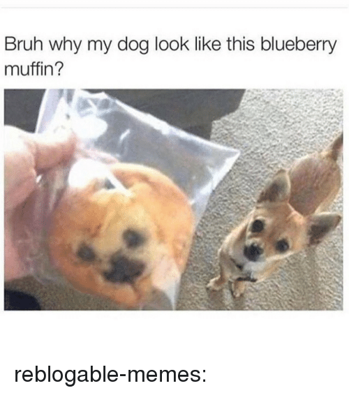Bruh, Memes, and Tumblr: Bruh why my dog look like this blueberry  muffin? reblogable-memes: