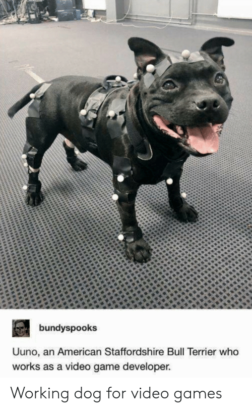 Video Games, Videos, and American: bundyspooks  Uuno, an American Staffordshire Bull Terrier who  works as a video game developer Working dog for video games