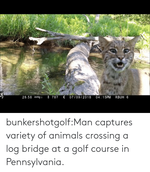 Course: bunkershotgolf:Man captures variety of animals crossing a log bridge at a golf course in Pennsylvania.