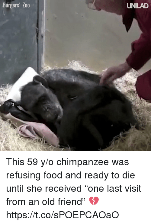 """Food, Girl Memes, and Old: Burgers' Zo0  UNILAD This 59 y/o chimpanzee was refusing food and ready to die until she received """"one last visit from an old friend"""" 💔 https://t.co/sPOEPCAOaO"""