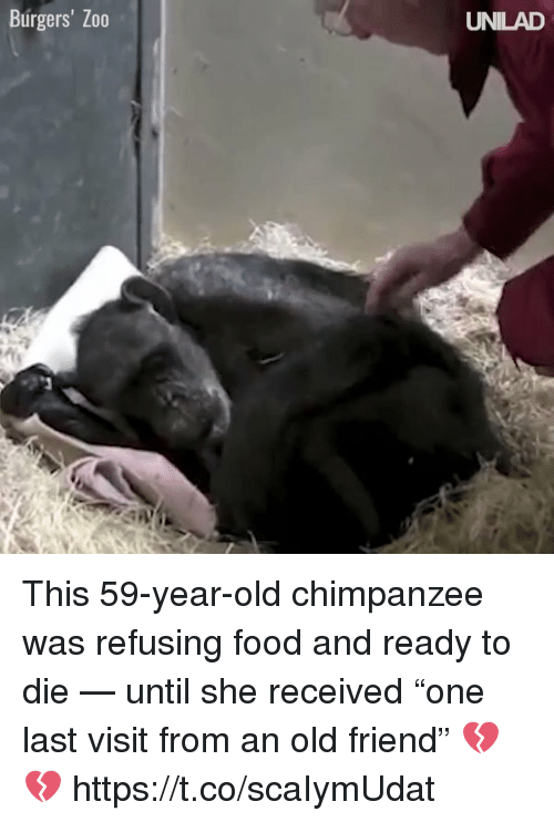 """Food, Memes, and Old: Burgers' Zo0  UNILAD This 59-year-old chimpanzee was refusing food and ready to die — until she received """"one last visit from an old friend"""" 💔💔 https://t.co/scaIymUdat"""