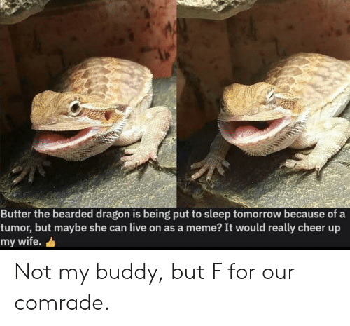 But Maybe: Butter the bearded dragon is being put to sleep tomorrow because of a  tumor, but maybe she can live on as a meme? It would really cheer up  my wife. Not my buddy, but F for our comrade.