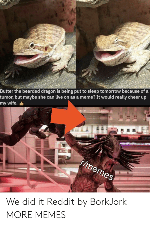 But Maybe: Butter the bearded dragon is being put to sleep tomorrow because of a  tumor, but maybe she can live on as a meme? It would really cheer up  my wife.  r/memes We did it Reddit by BorkJork MORE MEMES