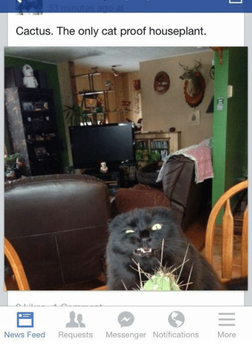 Memes, News, and Messenger: Cactus. The only cat proof houseplant.  uur  News Feed Requests Messenger Notifications More