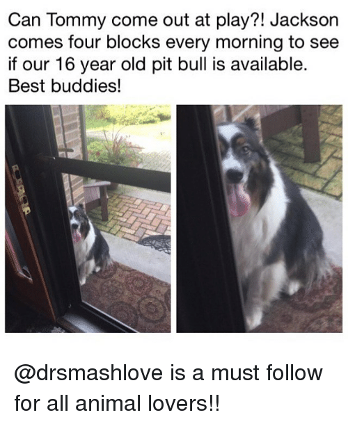 pit bulls: Can Tommy come out at play?! Jackson  comes four blocks every morning to see  if our 16 year old pit bull is available.  Best buddies! @drsmashlove is a must follow for all animal lovers!!