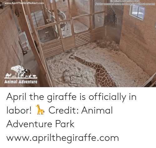 Reuse: CAnimal Adventure Park  www.AprilTheGiraffeAlert.co  without consent  Notfor recorded reuse or streamingt  Animal Adventure April the giraffe is officially in labor! 🦒  Credit: Animal Adventure Park www.aprilthegiraffe.com