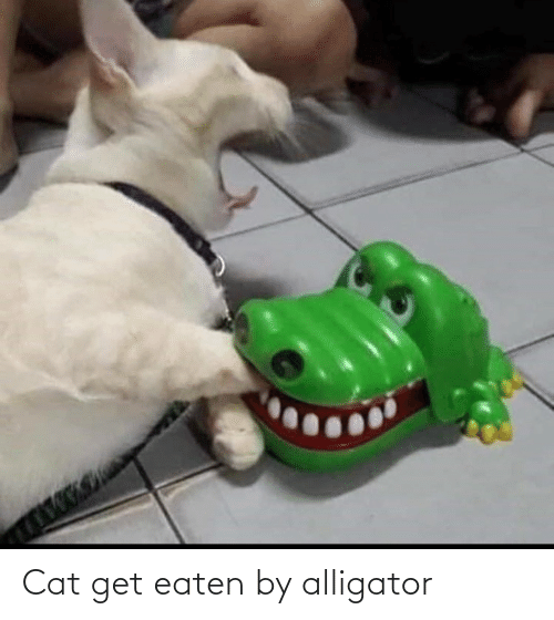 Alligator: Cat get eaten by alligator