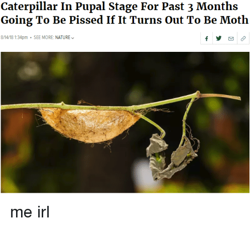 caterpillar: Caterpillar In Pupal Stage For Past 3 Months  Going To Be Pissed If It Turns Out To Be Moth  8/14/18 1:34pm SEE MORE: NATURE me irl