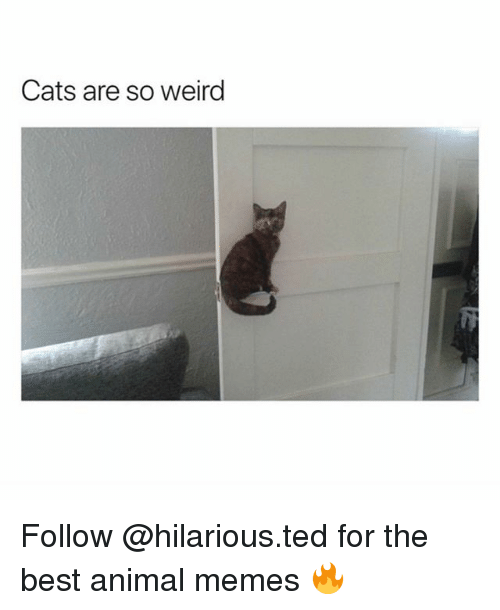Best Animal Memes: Cats are so weirg Follow @hilarious.ted for the best animal memes 🔥
