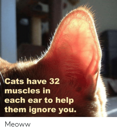 ignore: Cats have 32  muscles in  each ear to help  them ignore you. Meoww