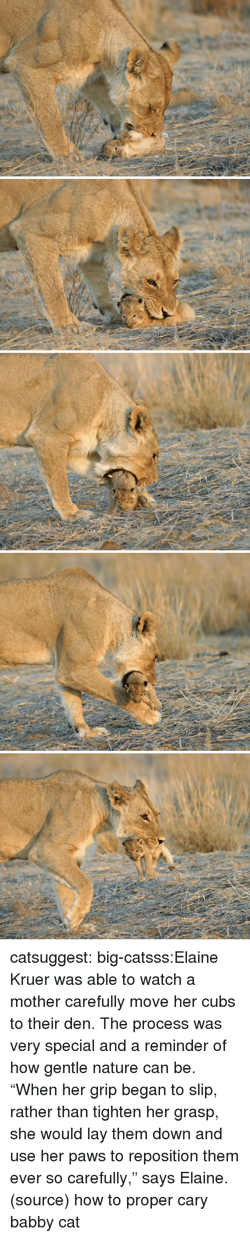 """Target, Tumblr, and Blog: catsuggest:  big-catsss:Elaine Kruer was able to watch a mother carefully move her cubs to their den. The process was very special and a reminder of how gentle nature can be. """"When her grip began to slip, rather than tighten her grasp, she would lay them down and use her paws to reposition them ever so carefully,"""" says Elaine. (source)  how to proper cary babby cat"""