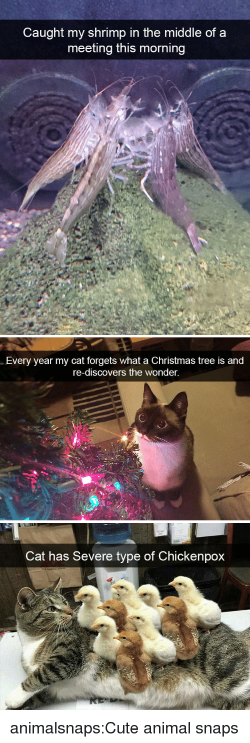 Christmas, Cute, and Tumblr: Caught my shrimp in the middle of a  meeting this morning   Every year my cat forgets what a Christmas tree is and  re-discovers the wonder.   Cat has Severe type of Chickenpox animalsnaps:Cute animal snaps