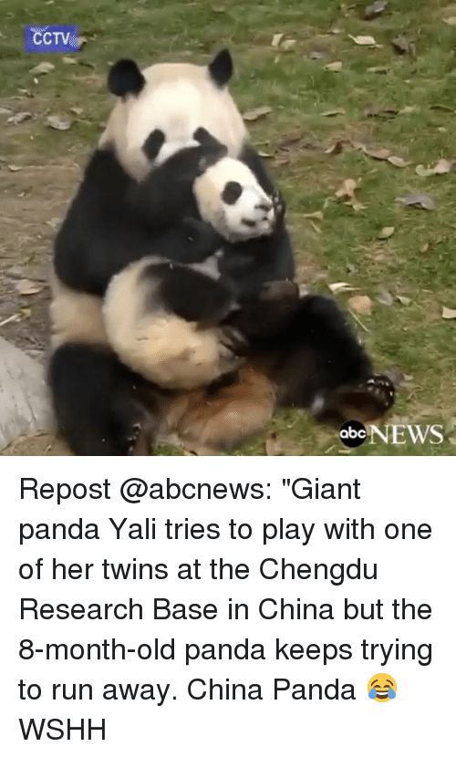 """giant panda: CCTV  abc  NEWS Repost @abcnews: """"Giant panda Yali tries to play with one of her twins at the Chengdu Research Base in China but the 8-month-old panda keeps trying to run away. China Panda 😂 WSHH"""