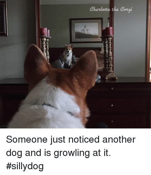 Sillydog: Charlotte the Corgi Someone just noticed another dog and is growling at it. #sillydog