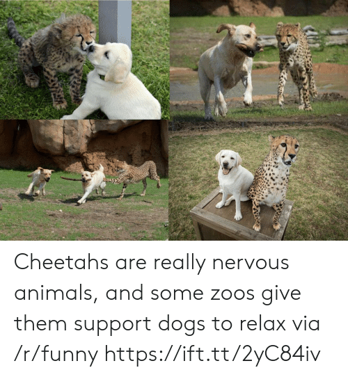 cheetahs: Cheetahs are really nervous animals, and some zoos give them support dogs to relax via /r/funny https://ift.tt/2yC84iv