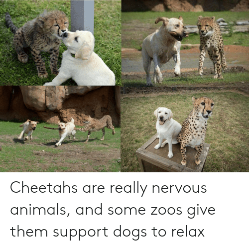 cheetahs: Cheetahs are really nervous animals, and some zoos give them support dogs to relax