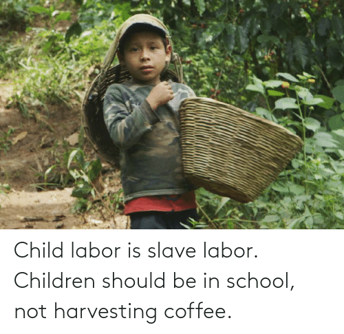Harvesting: Child labor is slave labor. Children should be in school, not harvesting coffee.