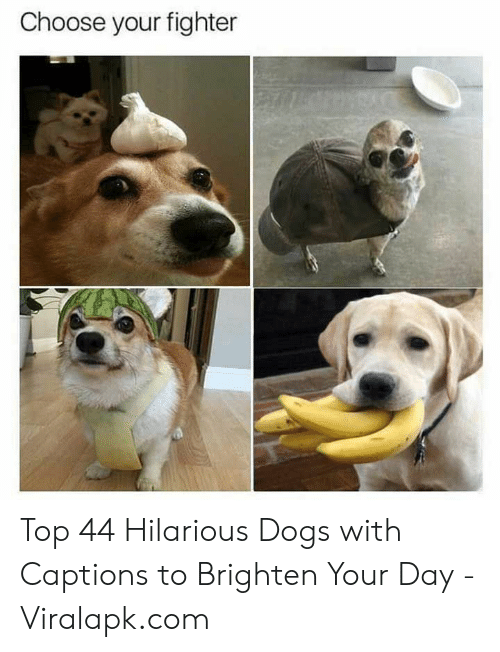 Choose Your: Choose your fighter Top 44 Hilarious Dogs with Captions to Brighten Your Day - Viralapk.com