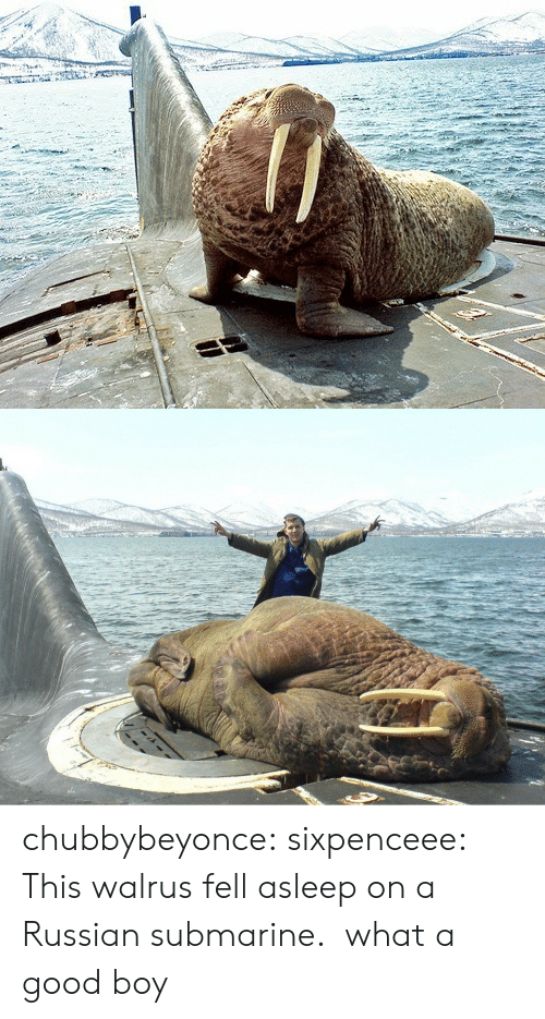 Tumblr, Blog, and Good: chubbybeyonce:  sixpenceee:  This walrus fell asleep on a Russian submarine.   what a good boy