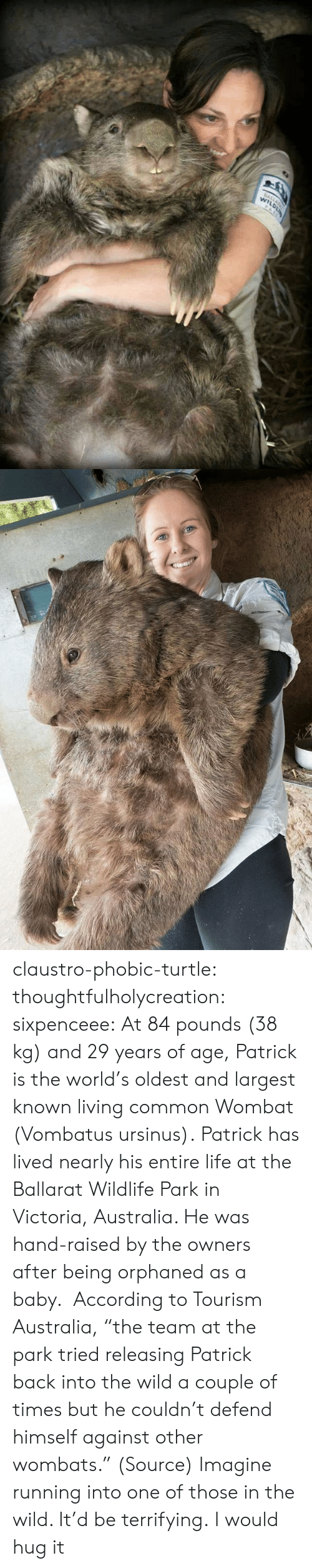 "Of Age: claustro-phobic-turtle:  thoughtfulholycreation:  sixpenceee:   At 84 pounds (38 kg) and 29 years of age, Patrick is the world's oldest and largest known living common Wombat (Vombatus ursinus). Patrick has lived nearly his entire life at the Ballarat Wildlife Park in Victoria, Australia. He was hand-raised by the owners after being orphaned as a baby.  According to Tourism Australia, ""the team at the park tried releasing Patrick back into the wild a couple of times but he couldn't defend himself against other wombats."" (Source)   Imagine running into one of those in the wild. It'd be terrifying.   I would hug it"