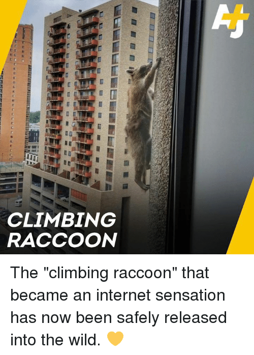 """Climbing, Internet, and Memes: CLIMBING  RACCOON The """"climbing raccoon"""" that became an internet sensation has now been safely released into the wild. 💛"""