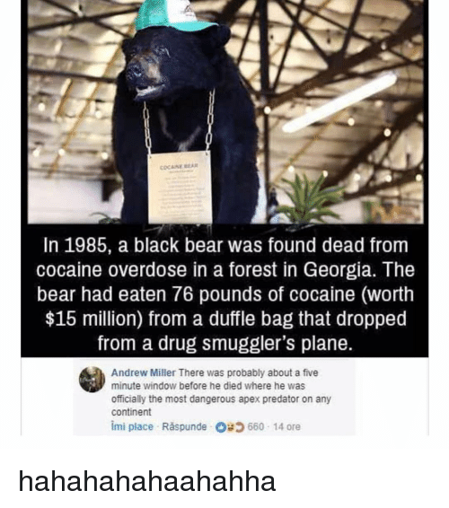 Memes, Apex, and Bear: COCAINE BA  In 1985, a black bear was found dead from  cocaine overdose in a forest in Georgia. The  bear had eaten 76 pounds of cocaine (worth  $15 million) from a duffle bag that dropped  from a drug smuggler's plane.  Andrew Miller There was probably about a five  minute window before he died where he was  officially the most dangerous apex predator on any  continent  imi place Răspunde 66014 ore hahahahahaahahha