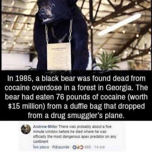 Overdose: COCAINE EA  In 1985, a black bear was found dead from  cocaine overdose in a forest in Georgia. The  bear had eaten 76 pounds of cocaine (worth  $15 million) from a duffle bag that dropped  from a drug smuggler's plane.  Andrew Miller There was probably about a five  minute window before he died where he was  officially the most dangerous apex predator on any  continent  imi place . Răspunde 680 14 ore