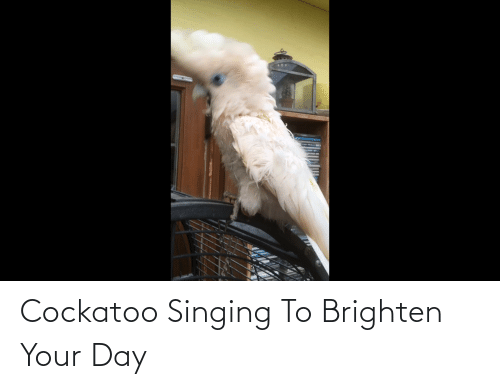 Singing: Cockatoo Singing To Brighten Your Day
