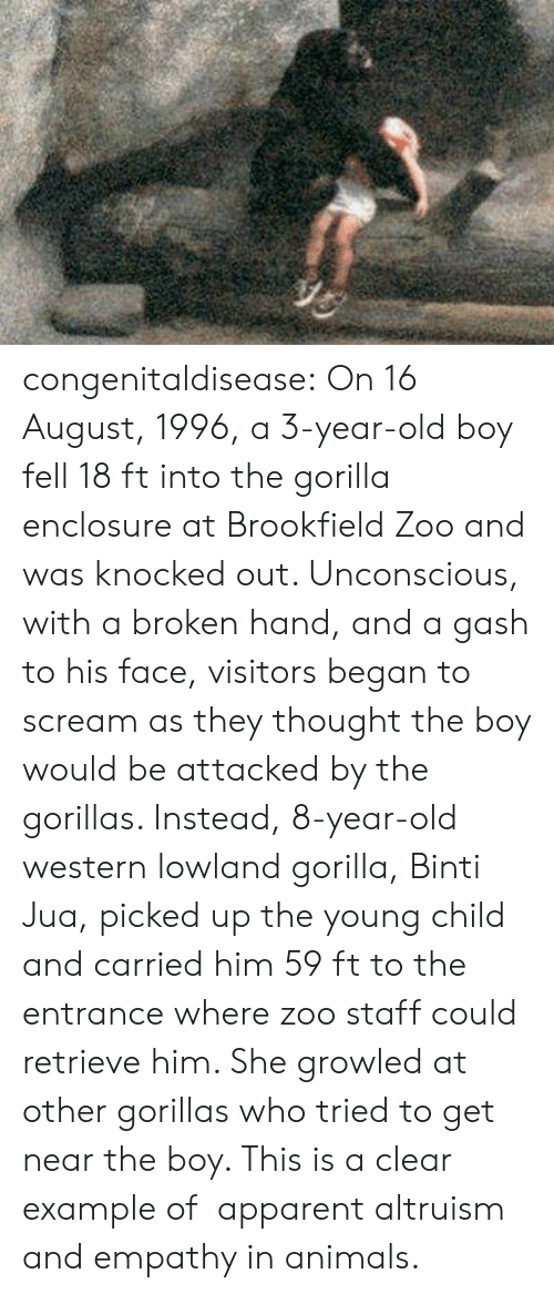 Example Of: congenitaldisease: On 16 August, 1996, a 3-year-old boy fell 18 ft into the gorilla enclosure at Brookfield Zoo and was knocked out. Unconscious, with a broken hand, and a gash to his face, visitors began to scream as they thought the boy would be attacked by the gorillas. Instead, 8-year-old western lowland gorilla, Binti Jua, picked up the young child and carried him 59 ft to the entrance where zoo staff could retrieve him. She growled at other gorillas who tried to get near the boy. This is a clear example of   apparent altruism and empathy in animals.