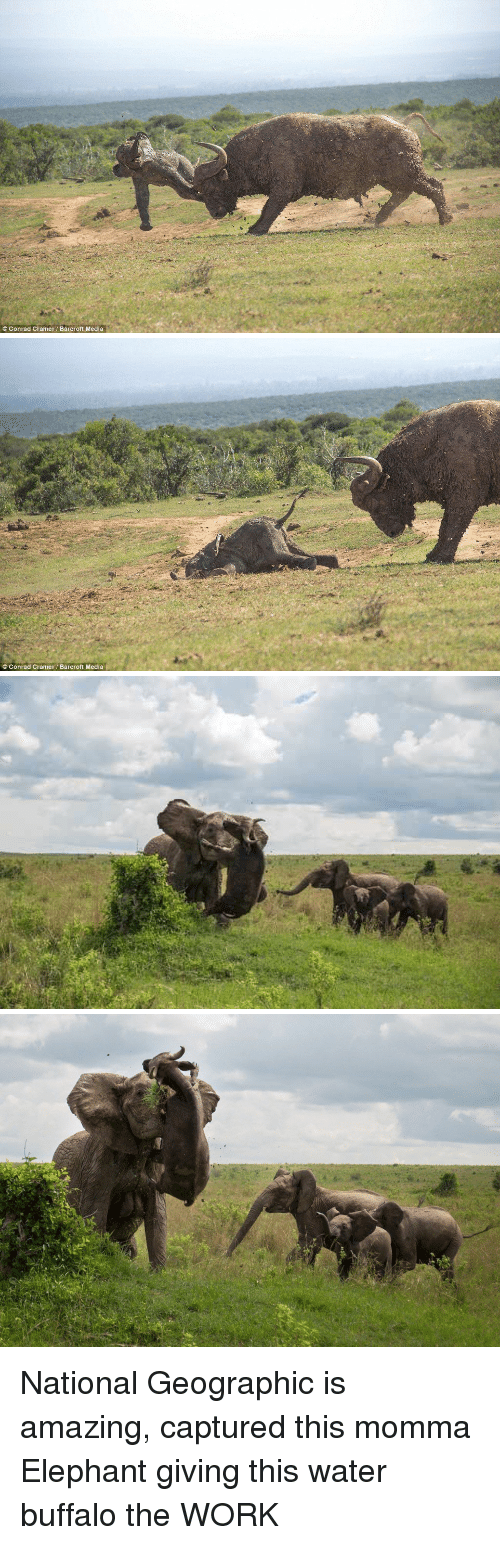 Funny, Buffalo, and Elephant: Conrad Cramer Barcroft Media   C Conrad Cramer Barcroft Media National Geographic is amazing, captured this momma Elephant giving this water buffalo the WORK