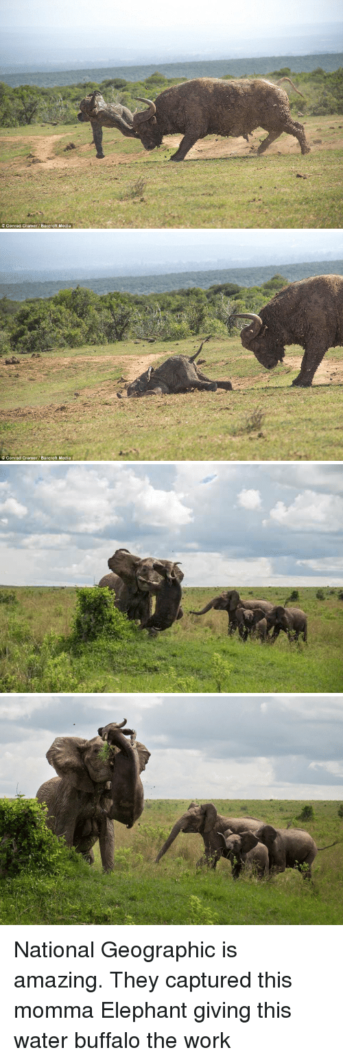 Memes, Buffalo, and Elephant: Conrad Cramer Barcroft Media   Conrad Cramer Barcroft Media National Geographic is amazing. They captured this momma Elephant giving this water buffalo the work