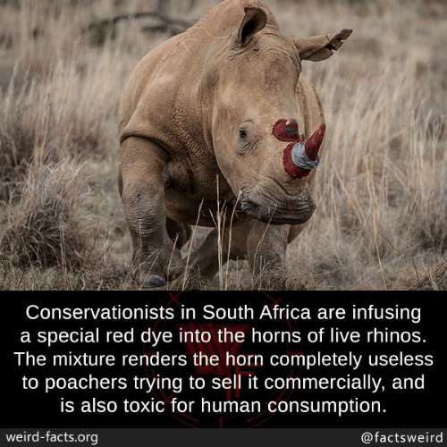 Africa, Facts, and Memes: Conservationists in South Africa are infusing  a special red dye into the horns of live rhinos.  The mixture renders the horn completely useless  to poachers trying to sell it commercially, and  is also toxic for human consumption  weird-facts.org  @factsweird