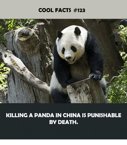 Facts, China, and Panda: COOL FACTS #123  KILLING A PANDA IN CHINA IS PUNISHABLE  BY DEATH.