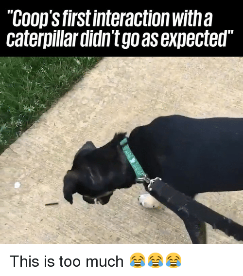 caterpillar: COop's firstinteraction with a  caterpillar didn't go as expected This is too much 😂😂😂