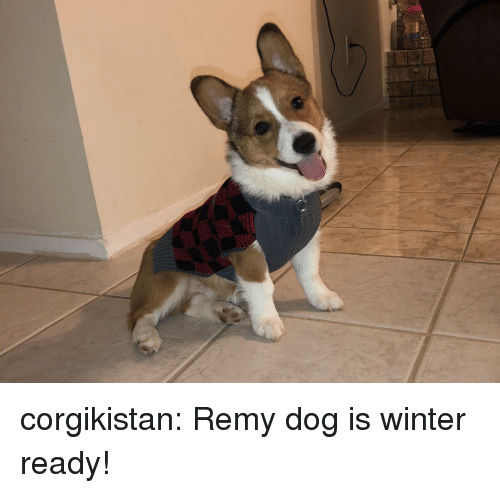 Remy: corgikistan:  Remy dog is winter ready!