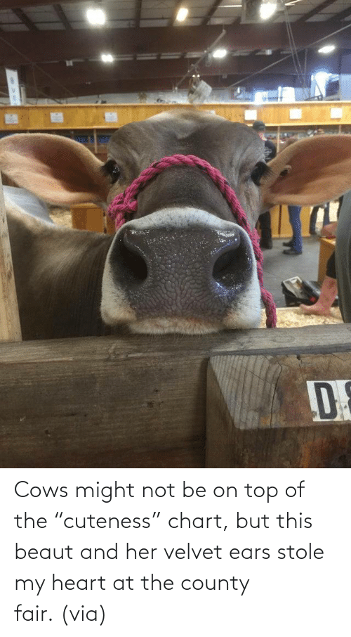 "On Top: Cows might not be on top of the ""cuteness"" chart, but this beaut and her velvet ears stole my heart at the county fair. (via)"
