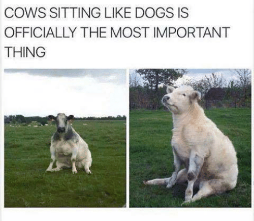 Dogs, Thing, and Like: COWS SITTING LIKE DOGS IS  OFFICIALLY THE MOST IMPORTANT  THING