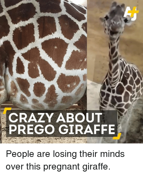 Memes, Pregnant, and 🤖: CRAZY ABOUT  PREGO GIRAFFE People are losing their minds over this pregnant giraffe.