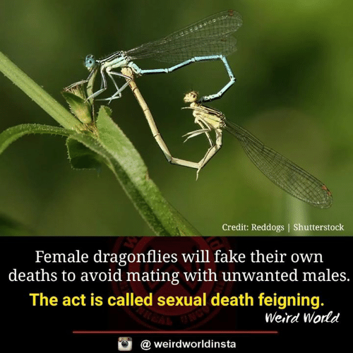 Fake, Memes, and Weird: Credit: Reddogs | Shutterstoclk  Female dragonflies will fake their own  deaths to avoid mating with unwanted males.  The act is called sexual death feigning.  Weird World  a weirdworldinsta