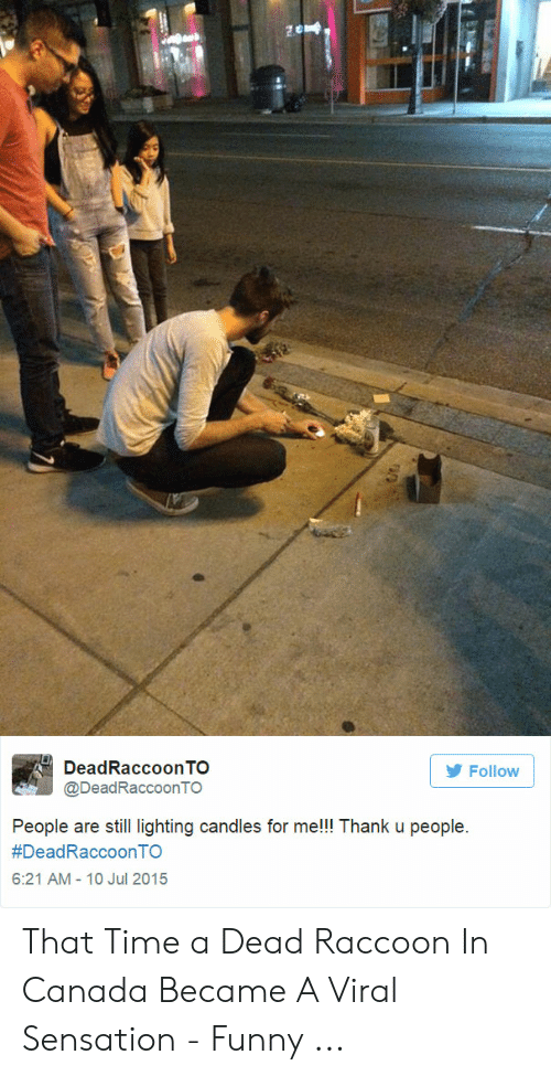 Funny, Canada, and Raccoon: DeadRaccoonTO  Follow  @DeadRaccoonTO  People are still lighting candles for me!!! Thank u people  #DeadRaccoonTO  6:21 AM - 10 Jul 2015 That Time a Dead Raccoon In Canada Became A Viral Sensation - Funny ...