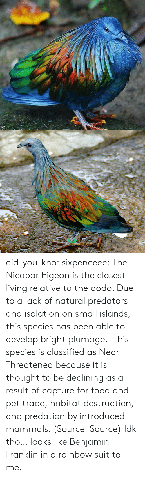 Benjamin Franklin, Food, and Target: did-you-kno:  sixpenceee:  The Nicobar Pigeon is the closest living relative to the dodo. Due to a lack of natural predators and isolation on small islands, this species has been able to develop bright plumage.  This species is classified as Near Threatened because it is thought to be declining as a result of capture for food and pet trade, habitat destruction, and predation by introduced mammals. (Source  Source)  Idk tho… looks like Benjamin Franklin in a rainbow suit to me.